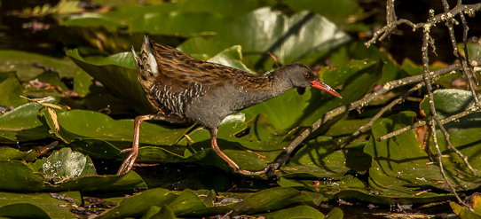 Water Rail for PiP 3057